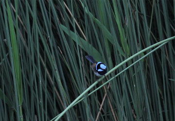 Fairy Wren photographed by Rachael Jones