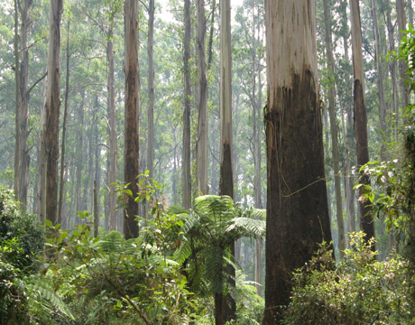 Sherbrook Forest, The Dandenongs